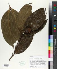 Image of Alibertia curviflora