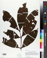 Image of Alibertia atlantica