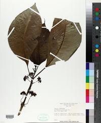 Image of Hoffmannia pittieri