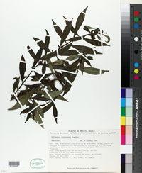 Image of Hoffmannia cryptoneura
