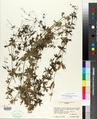 Galium mexicanum subsp. asperrimum image
