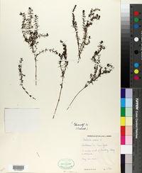 Galium verum image