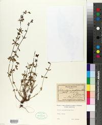 Image of Galium corrudaefolium