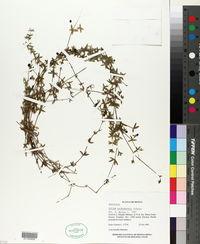 Image of Galium aschenbornii