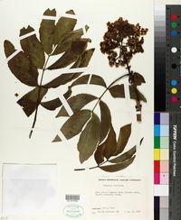 Image of Sambucus peruviana