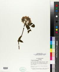 Viburnum buddleifolium image