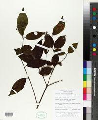 Image of Viburnum amatenangense