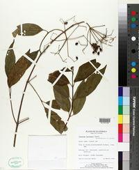 Image of Viburnum hartwegii