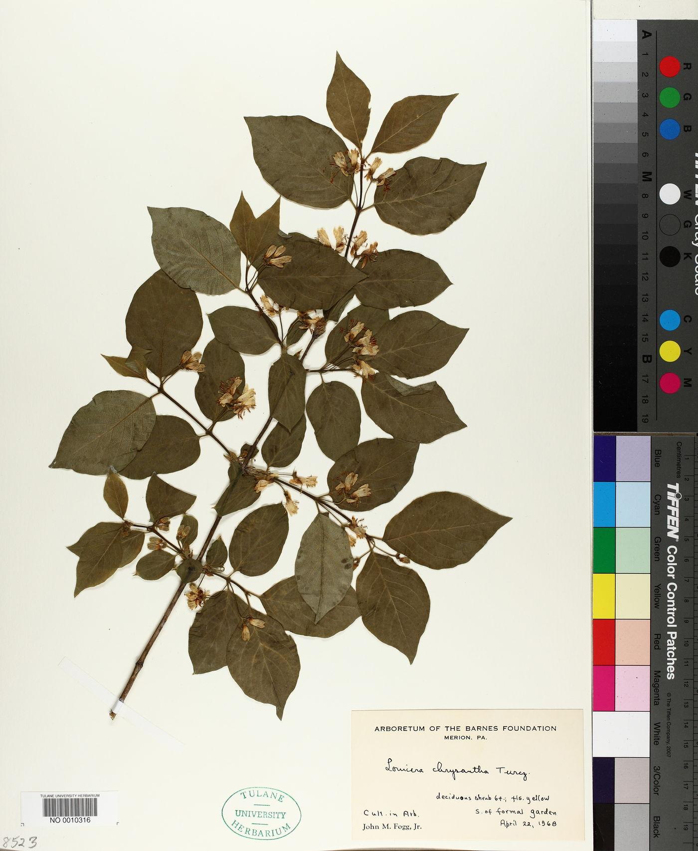 Lonicera chrysantha image