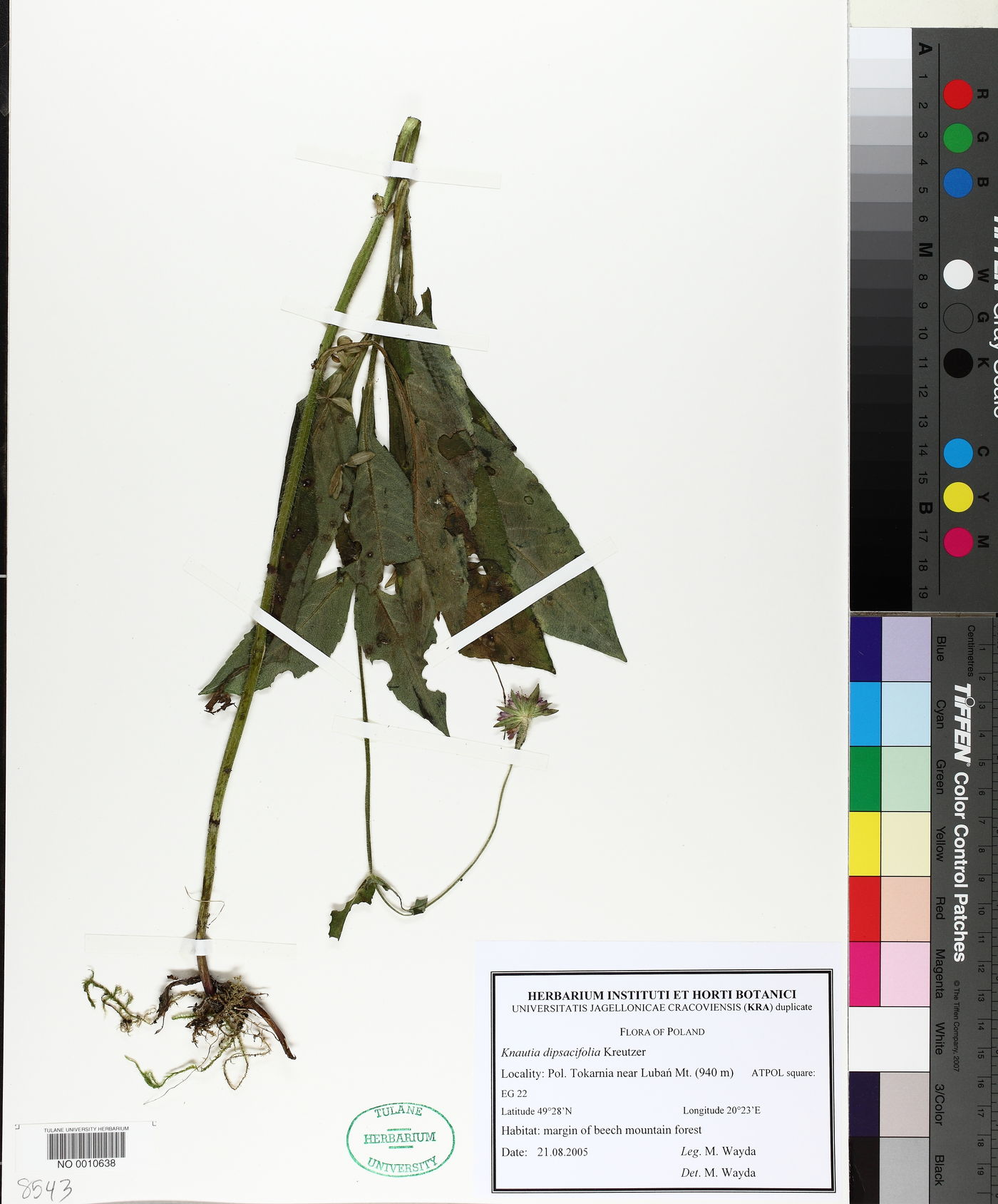 Knautia dipsacifolia image