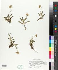 Image of Knautia rupicola