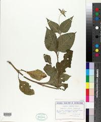 Image of Knautia drymeia