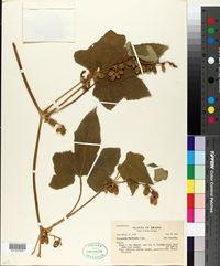 Image of Cayaponia floribunda