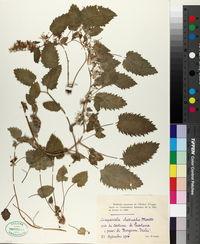 Image of Campanula elatinoides