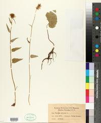 Phyteuma spicatum image