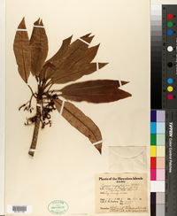 Cyanea angustifolia image