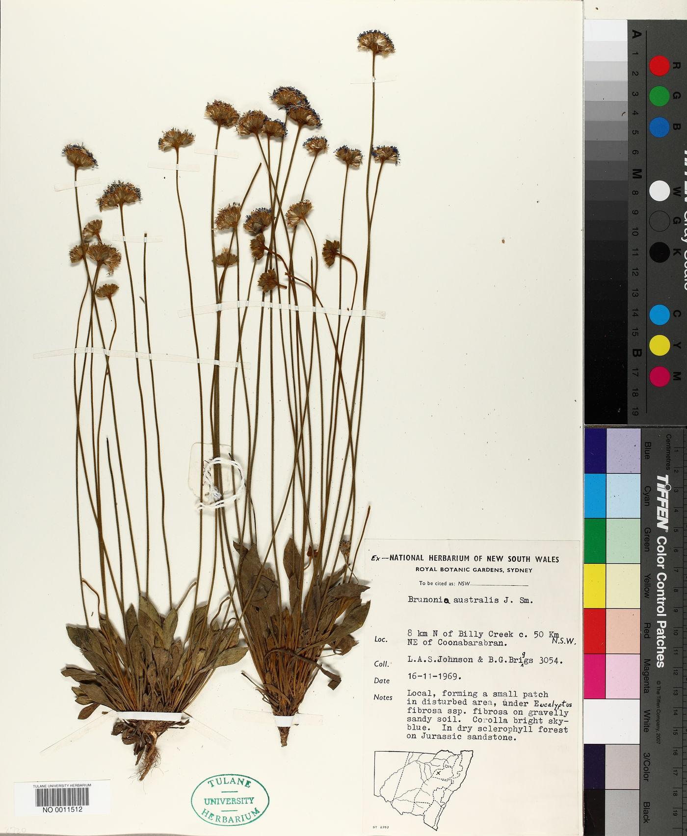 Brunonia australis image
