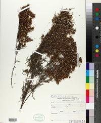 Image of Eupatorium buniifolium