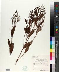 Image of Eupatorium crenulatum