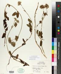Conoclinium betonicifolium image