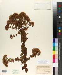 Image of Ageratina collodes