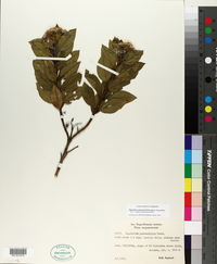 Image of Ageratina pseudochilca