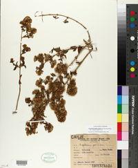 Image of Austrobrickellia patens