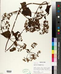 Mikania microptera image