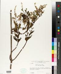 Image of Mikania sprucei