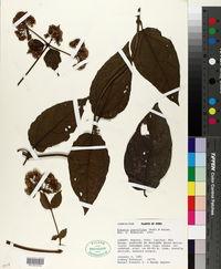 Mikania parviflora image
