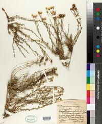 Acamptopappus sphaerocephalus image