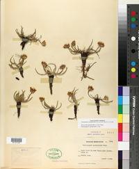 Pyrrocoma apargioides image