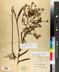 Image of Symphyotrichum lentum
