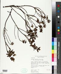 Image of Baccharis buxifolia