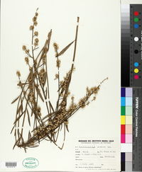 Image of Baccharis spicata