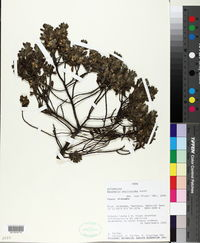 Image of Baccharis phylicoides