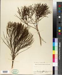 Image of Baccharis scoparia