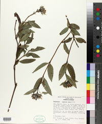 Image of Lagascea rubra