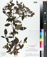 Image of Clibadium armanii