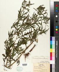 Image of Ambrosia x helenae