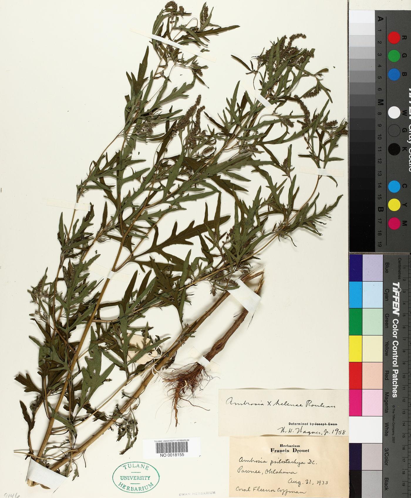 Ambrosia x helenae image