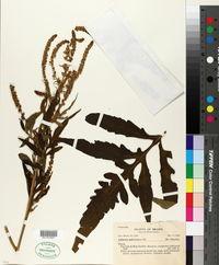 Image of Ambrosia polystachya
