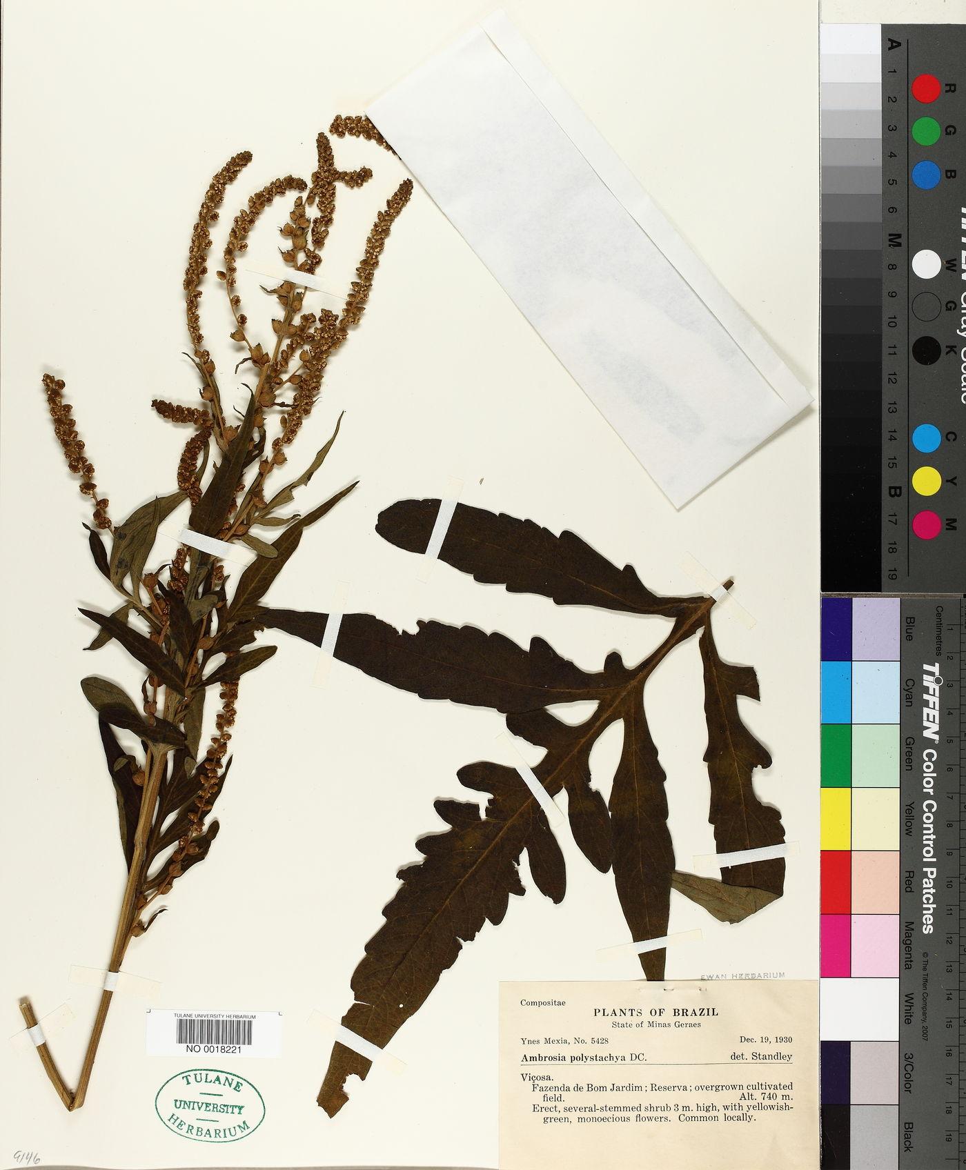 Ambrosia polystachya image