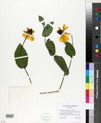Rudbeckia amplexicaulis image