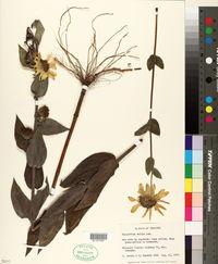 Image of Helianthus mandonii