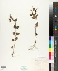 Image of Acmella caulirhiza