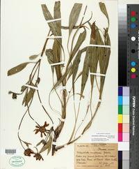 Image of Helianthella nevadensis