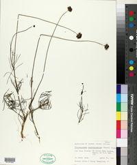 Image of Thelesperma burridgeanum