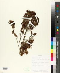 Image of Calea clematidea