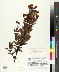 Image of Calea lutea